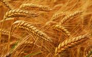 Закупаем пшеницу с сажкой