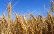 Закупаю пшеницу 2, 3 класс