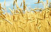 Закупаем пшеницу фуражную дорого
