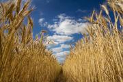 Компания Экспортер закупает пшеницу