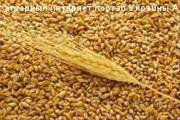 Закупаем  пшеницу,  ячмень 0984880370