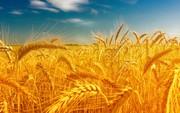 Предлагаем пшеницу на экспорт,