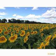 Качественные семена подсолнечника и кукурузы