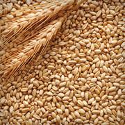 Куплю зернові,  бобові. Продати некондицію,  зерновідходи