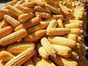 Закупаем зерновые дорого